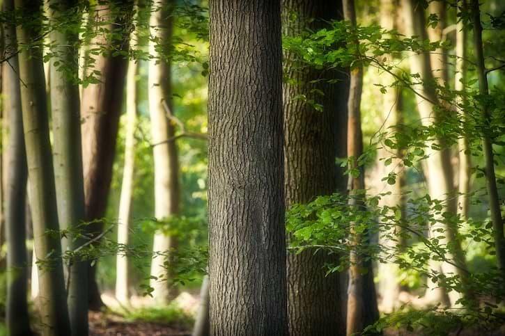 Buche Baum